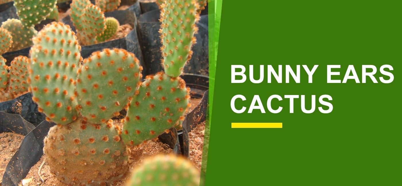 Bunny Ears Cactus Online India Buy Bunny Ears Cactus