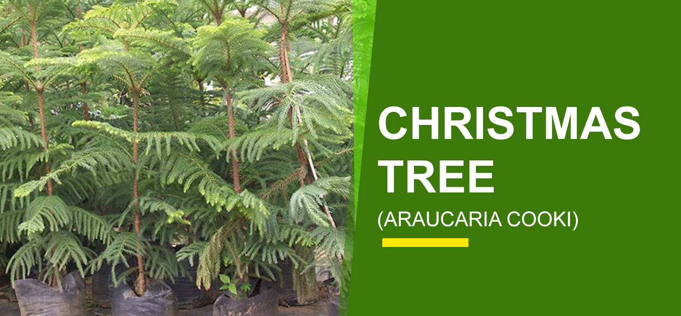 Buy Christmas Tree - Garden