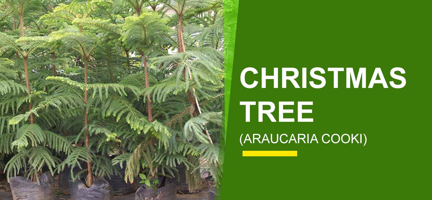 Christmas Tree In India.Christmas Tree Online India Buy Christmas Tree Garden World