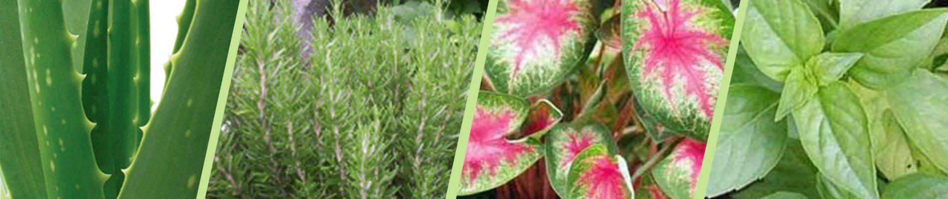 Herbs Online India | Buy Herbs - Garden World