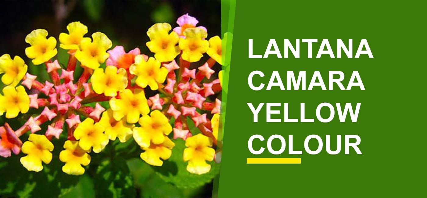 Lantana Camara Yellow Color Online India Buy Lantana Camara Yellow