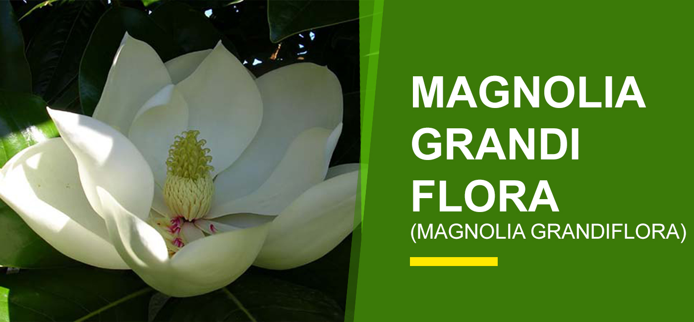 Magnolia Grandiflora Online India Buy Magnolia Flower Garden World
