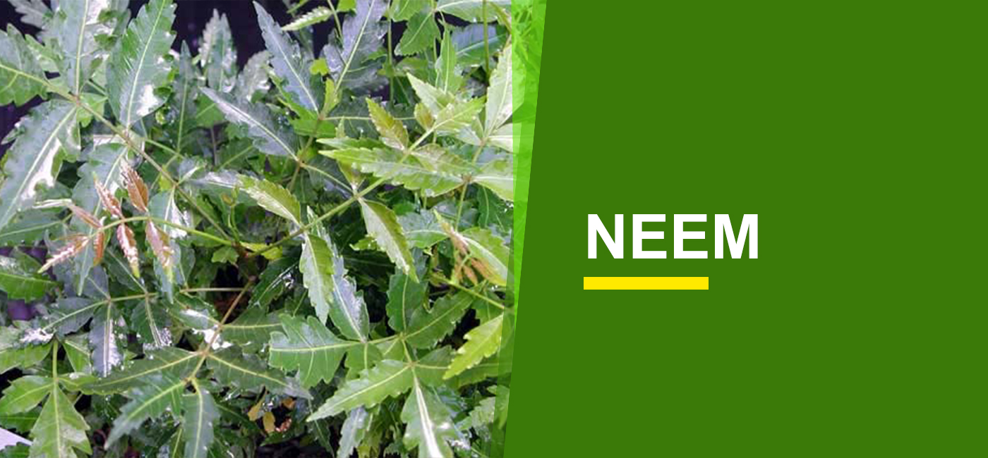 Tree Saplings Online India Buy Tree Saplings Garden World