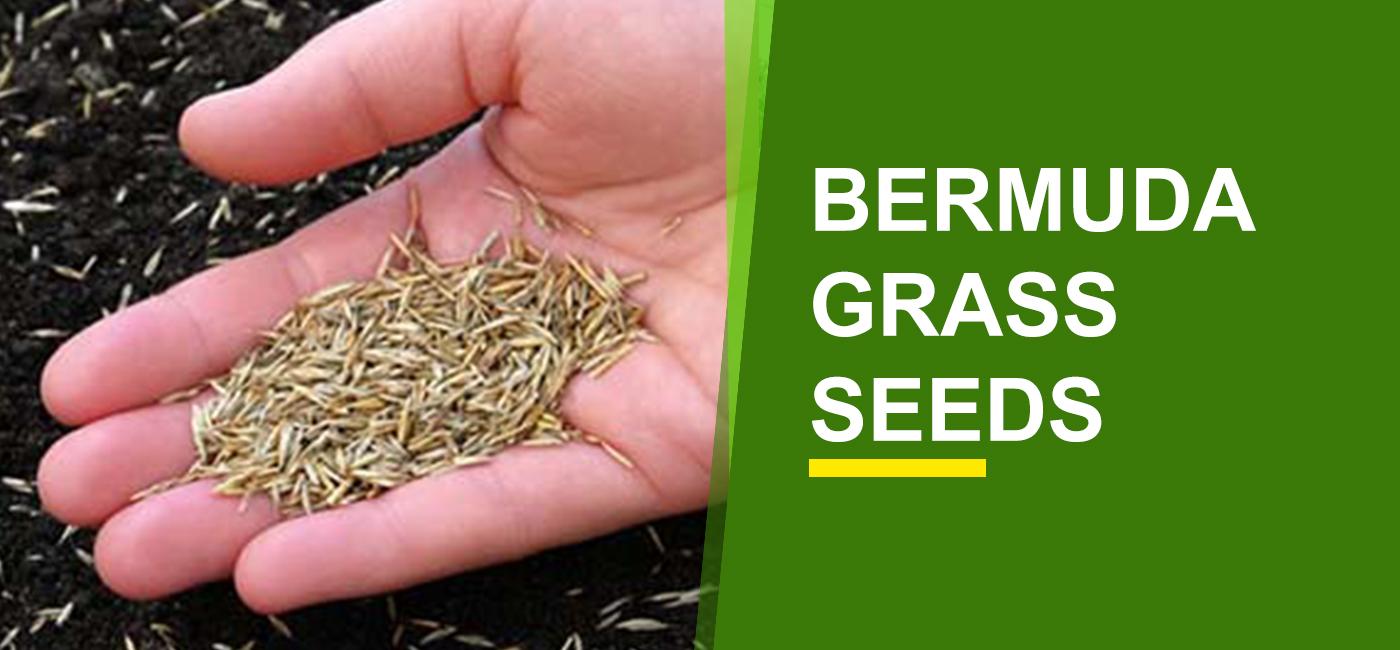 Bermuda Grass Seeds Online India | Buy Bermuda Grass Seeds